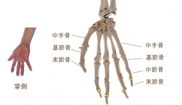 深指屈筋の停止部