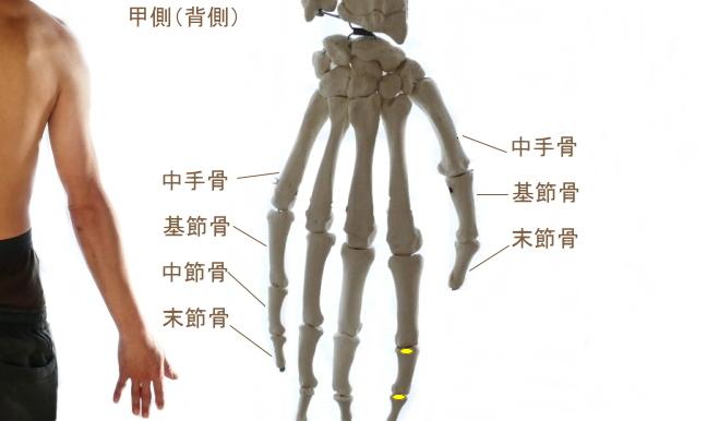 示指伸筋の停止部