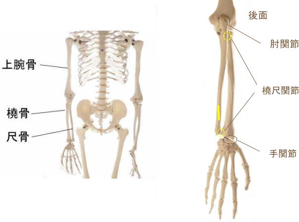 示指伸筋の起始部