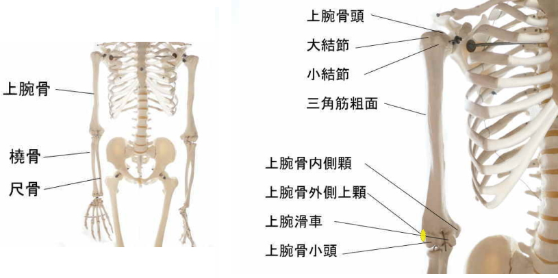 小指伸筋の起始部