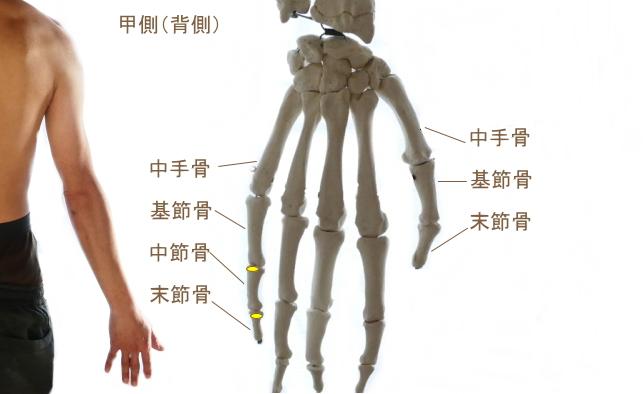 小指伸筋の停止部
