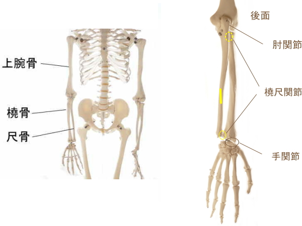 長母指伸筋の起始部