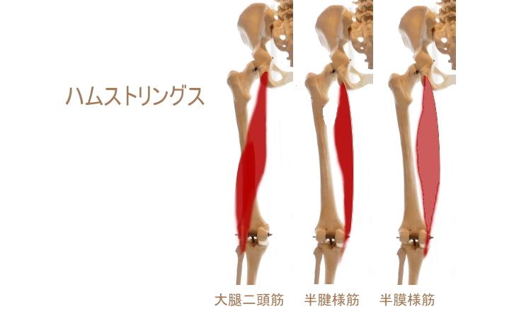太もも後面の筋肉