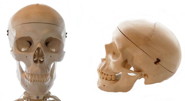 前頭骨の解説